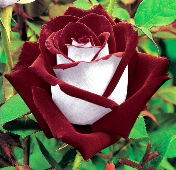 osiria rose photo gallery hard to find hybrid tea rose. Black Bedroom Furniture Sets. Home Design Ideas