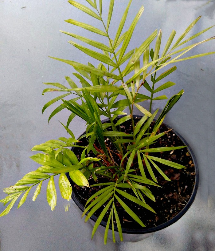 Parlor Palm ( Chamaedorea Elegans) can take quite low light