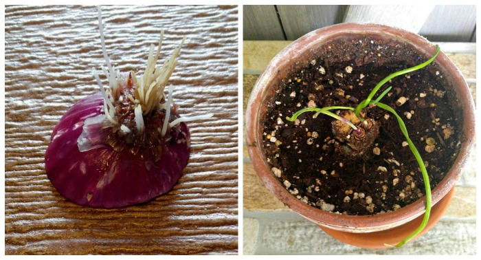 Vidalia onions sprout and will re-grow easily in a pot.