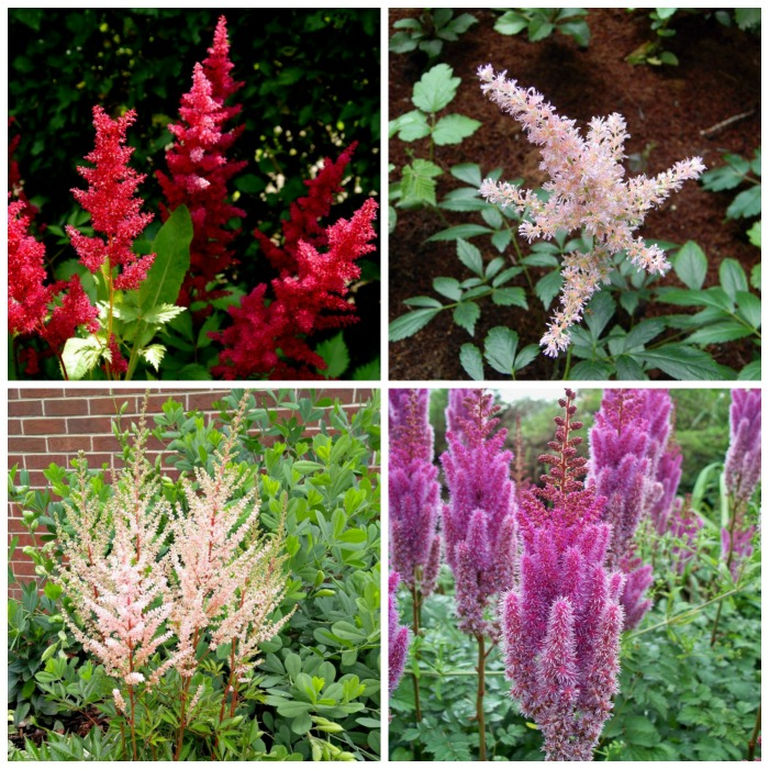 Astilbe colors photo gallery