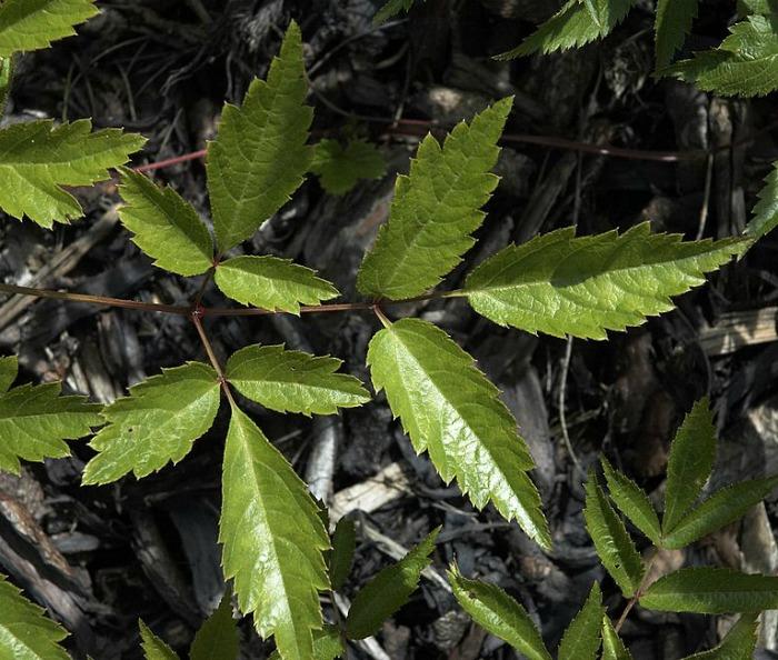 Astilbe leaves