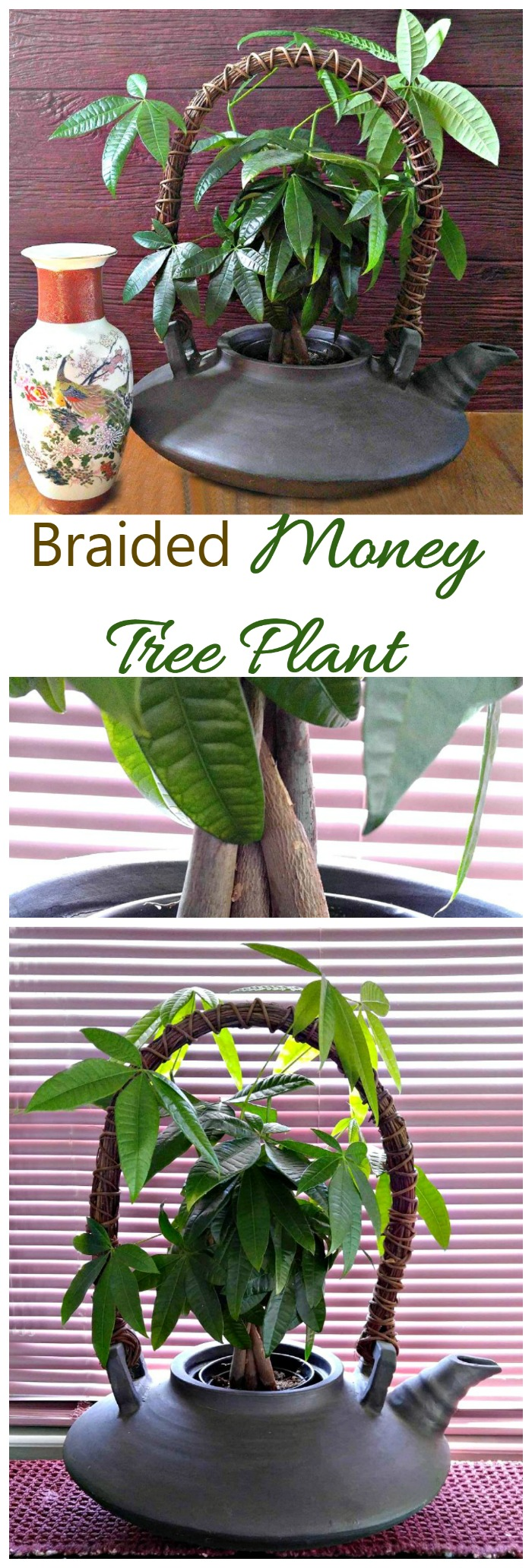 The Braided Money Tree Plant is a hardy and easy to grow indoor plant. It is normally grown with a braided trunk and is thought to bring good luck to the home. See my tips for growing this pretty plant on thegardeningcook.com