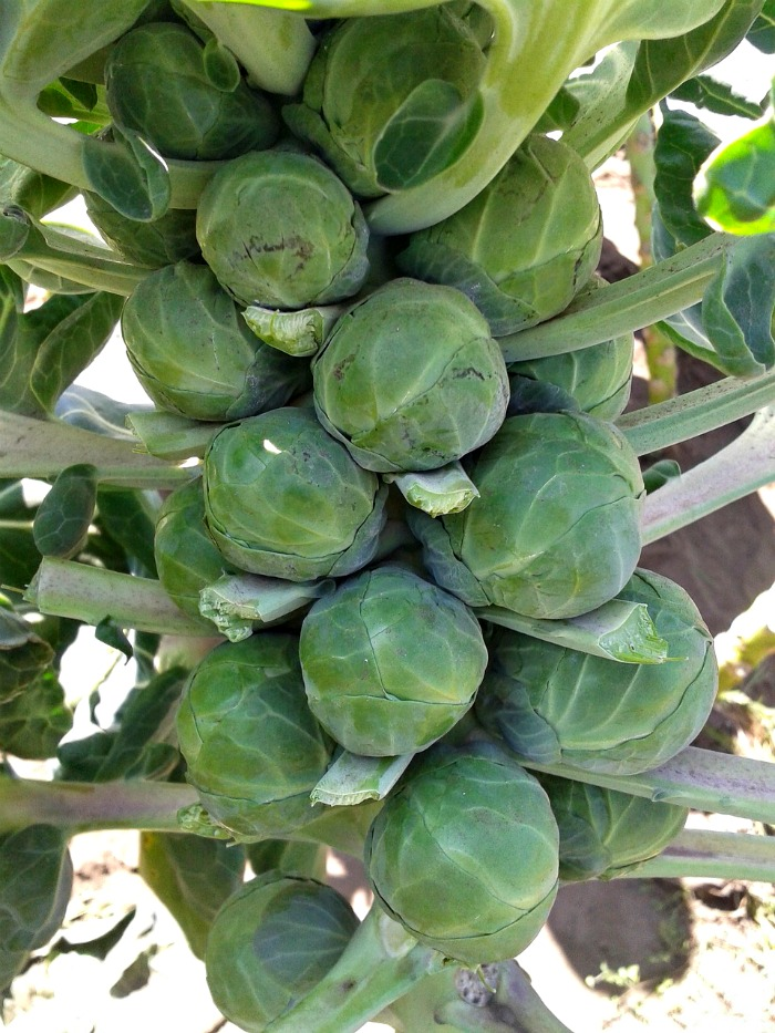 Brussels sprouts really love cooler temperatures