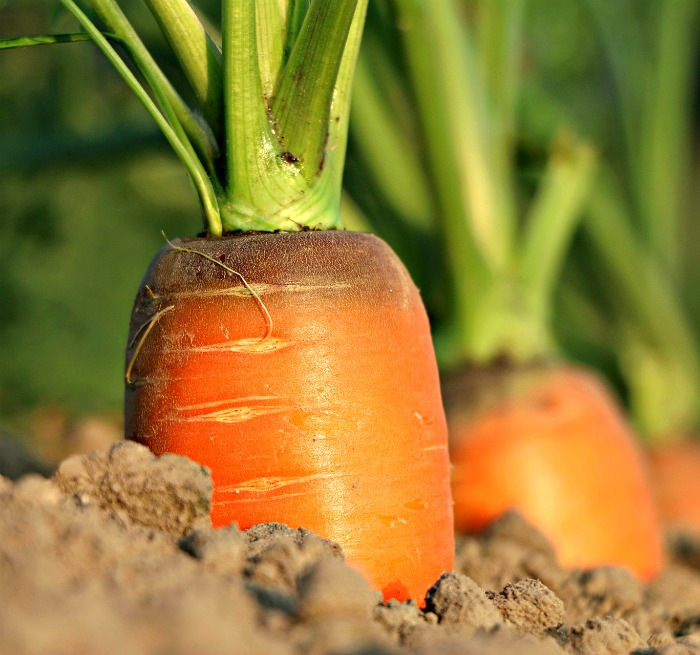 Carrots are sweeter in colder temperatures