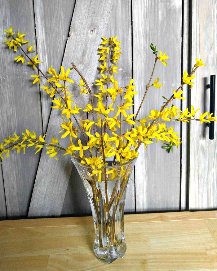 Forcing forsythia indoors