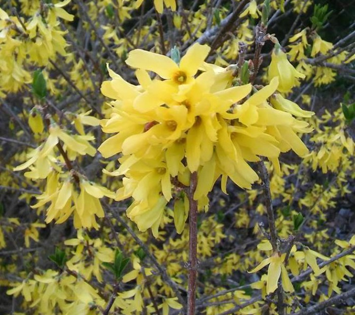 Cluster of forsythia petals