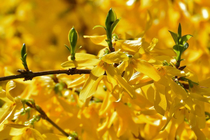 tips for growing forsythia bushes  the gardening cook, Beautiful flower