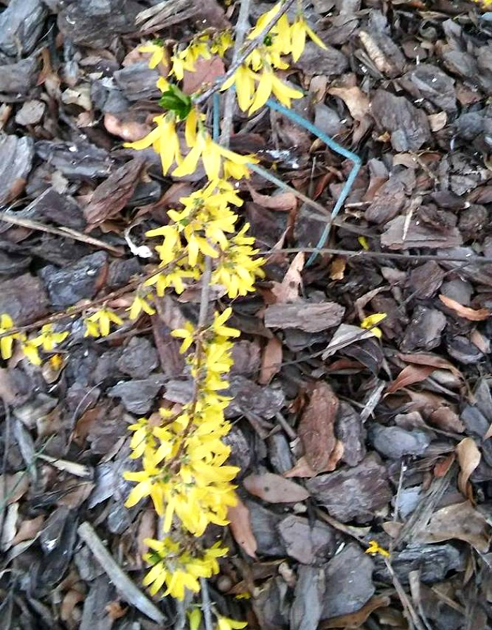 Forsythia rooting
