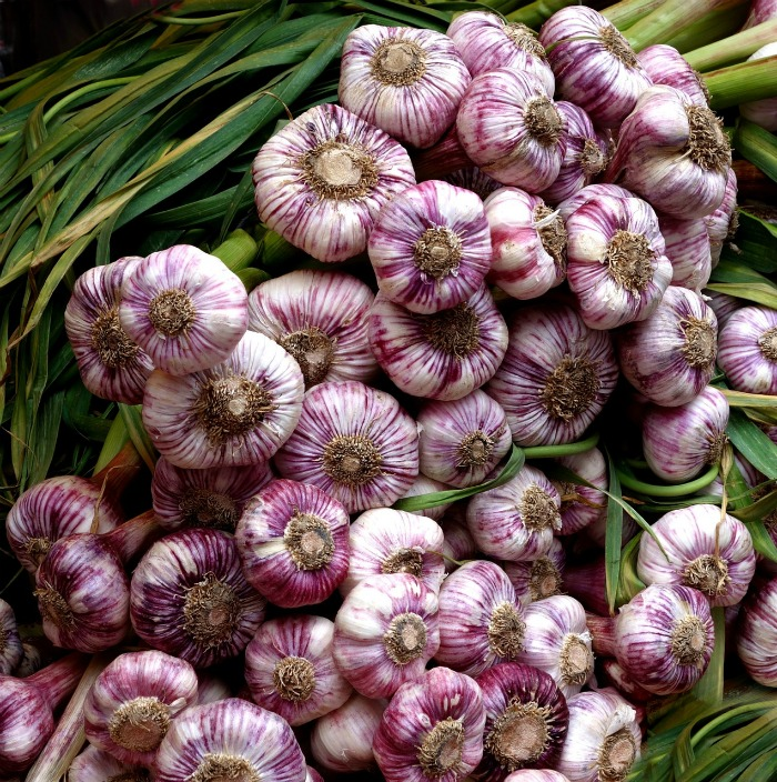 Garlic is one of the hardiest cold weather vegetable