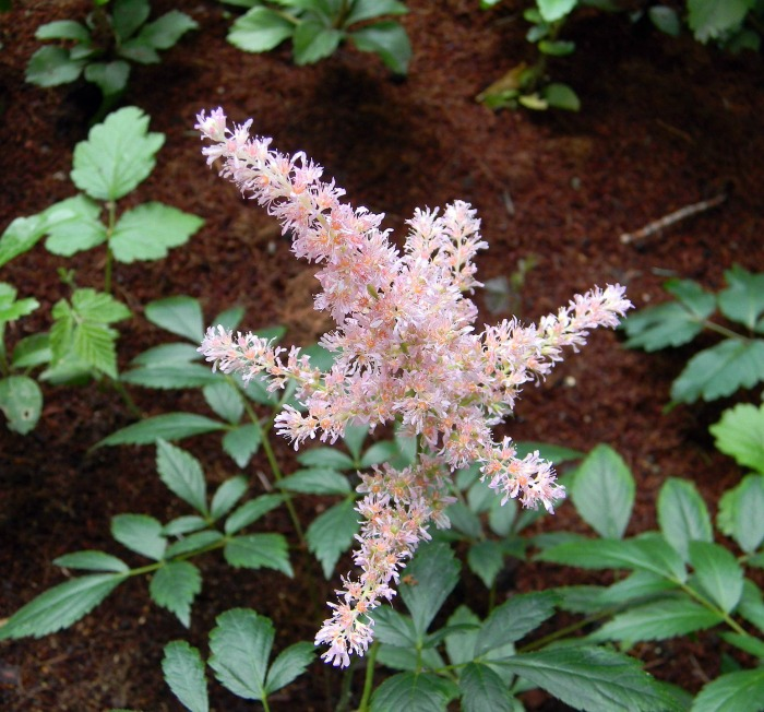 Pale pink astilbe