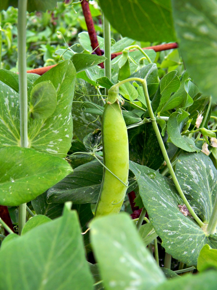 Garden peas will stop producing when the temperatures are too hot.