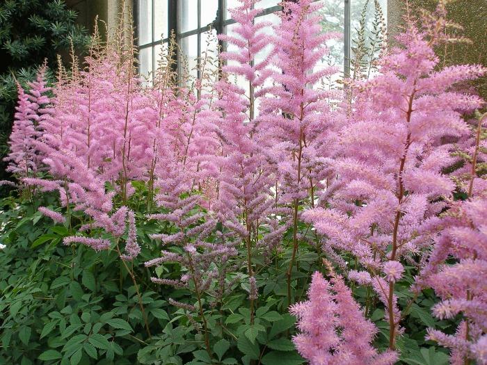 Bright pink astilbe