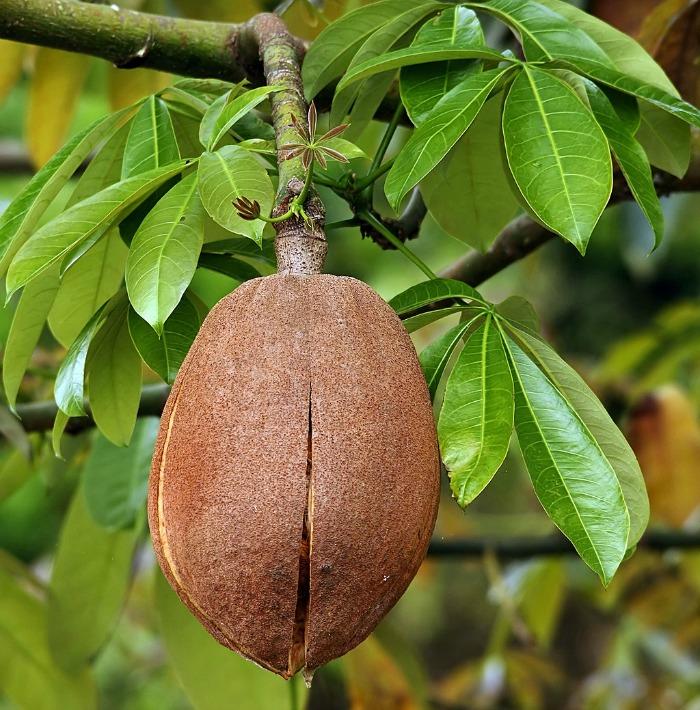 chestnut pod of the Braided Money TreePlant