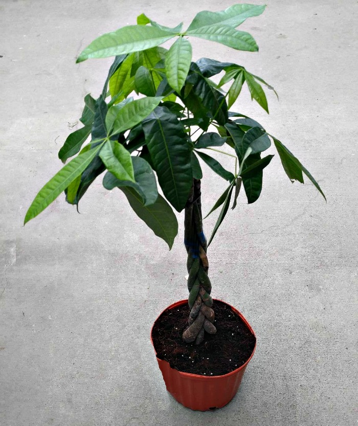 Braided Money TreePlant should be grown in a smallish pot
