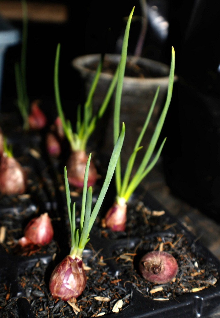 Shallots can be grown in pots on a sunny patio.