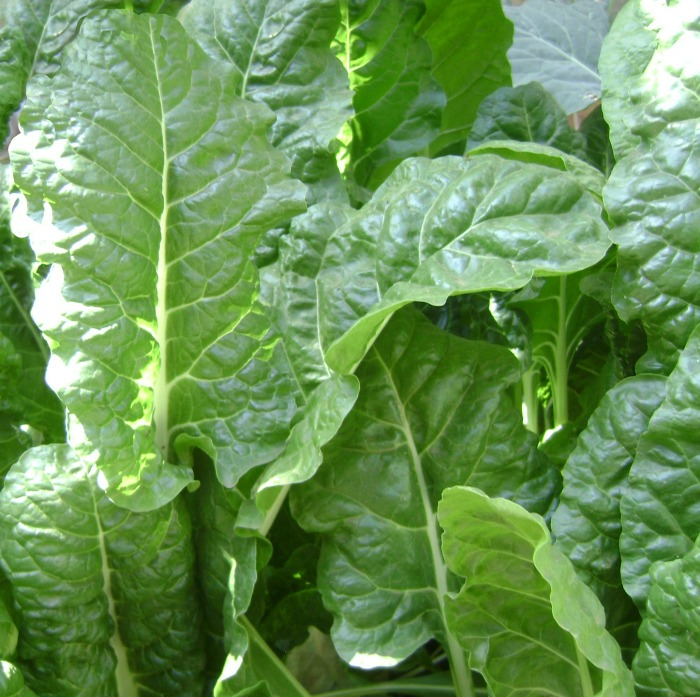 Spinach is a popular cold hardy vegetable