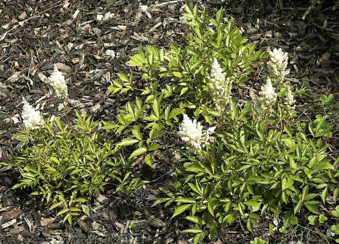 Small white astilbe