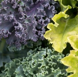Cold hardy vegetable