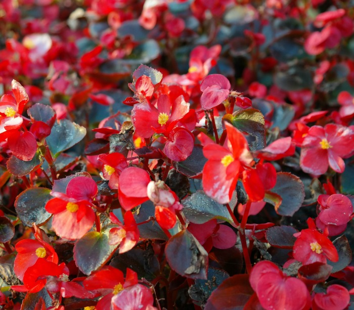 Common bedding begonias