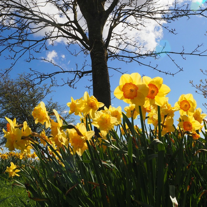 Daffodils make great cut flowers and are one of the earliest of bloomers in my spring garden.