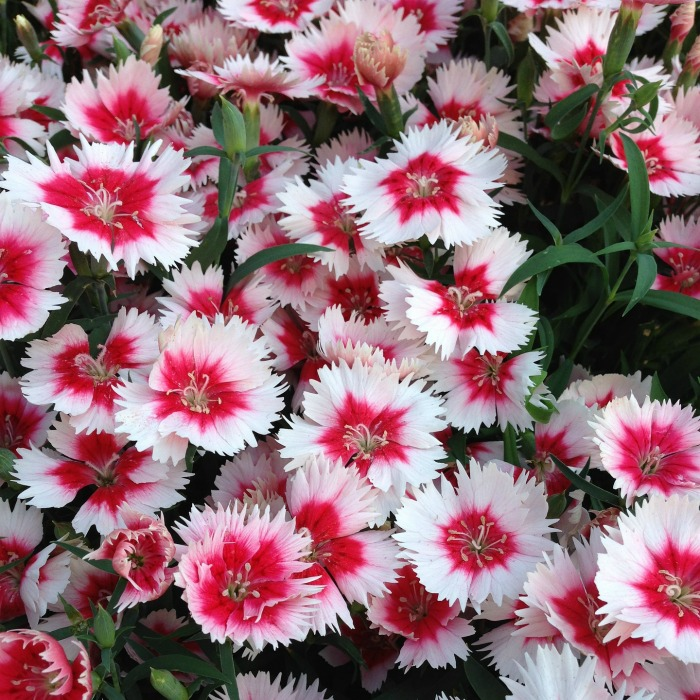 Dianthus makes a great mounting plant in early spring.
