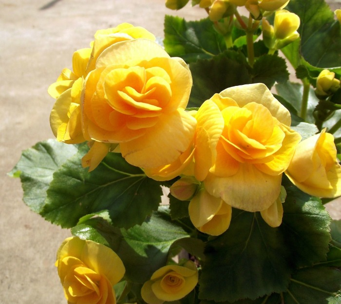 double flower tuberous begonia