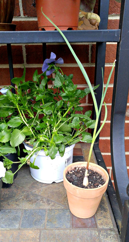 Garlic greens in pot