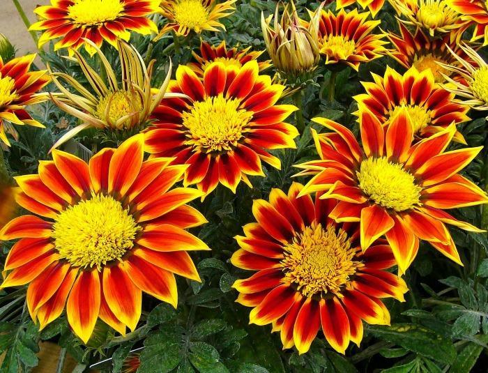 Gazanias flower all spring and summer