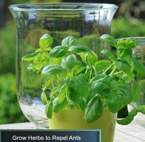 Grown an herb kitchen garden to repel ants