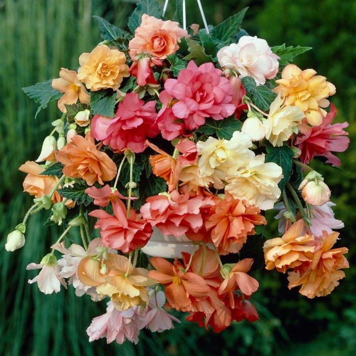 Hanging basket begonia