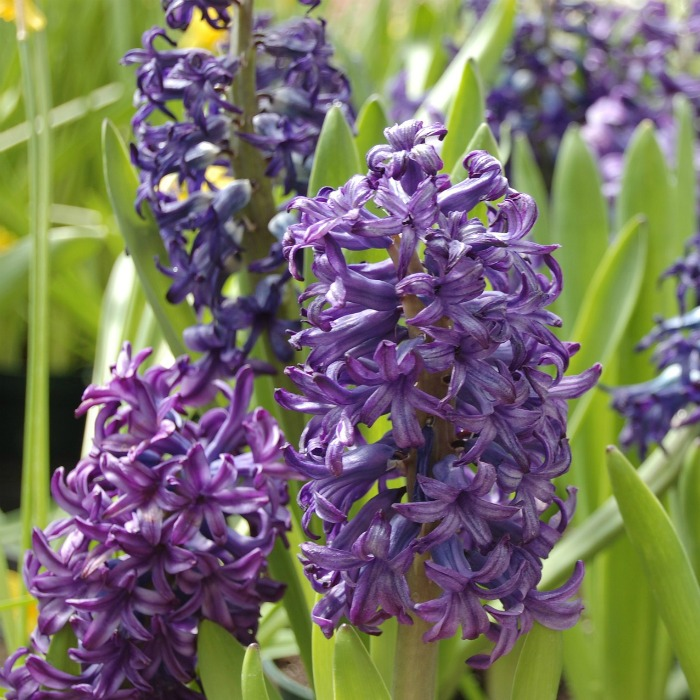 Grape Hyacinths trumpet in the arrival of spring.