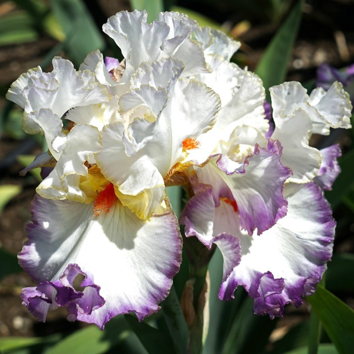 Irises are one of the early spring bloomers