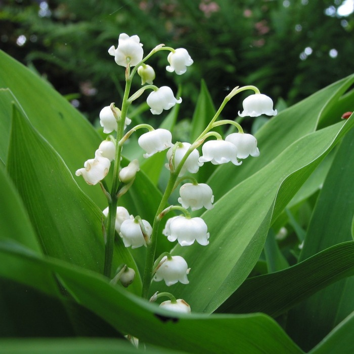 Lily of the valley likes a cool climate.