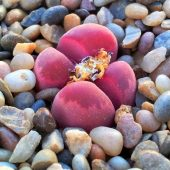 Red Lithops Plant