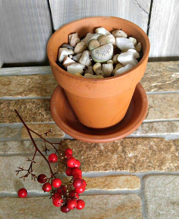 Lithops - Living Stone