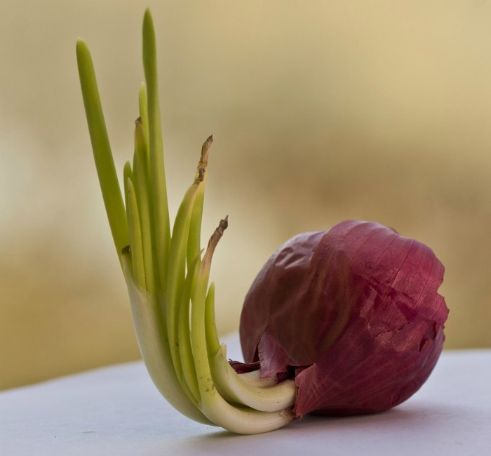 Sprouted Red onion