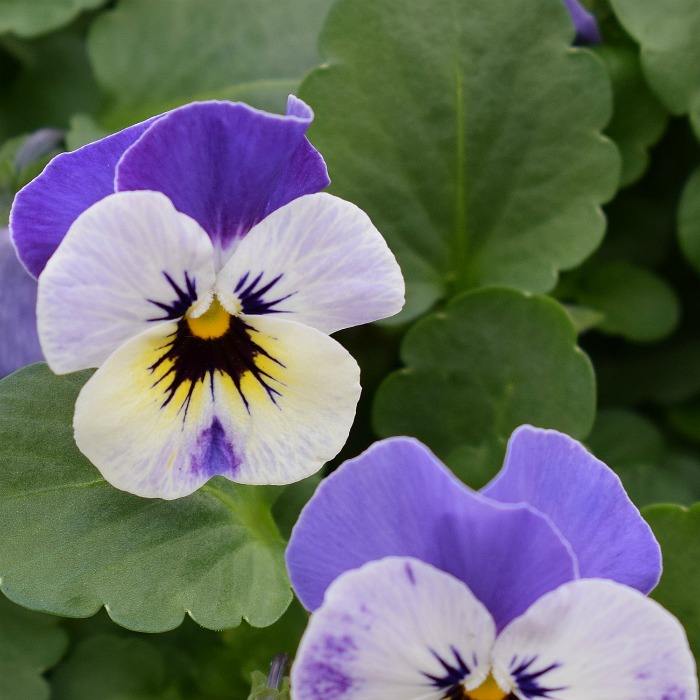Pansies love the cold of early spring.