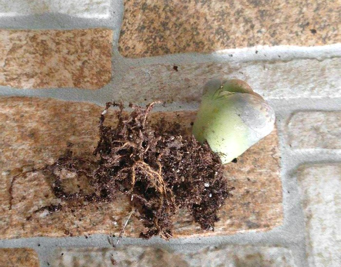 Lithops root system