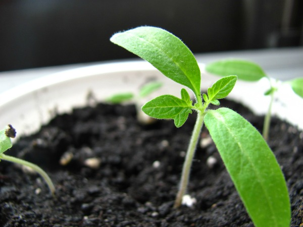 Tips and advice for starting vegetable gardening seeds
