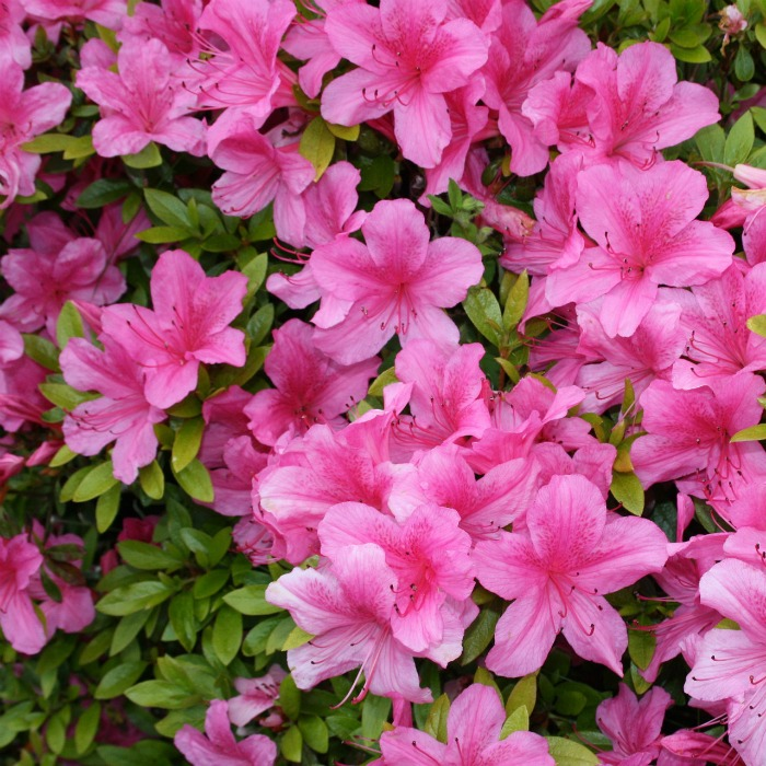 Azalea perennial shrubs are an early spring bloomer
