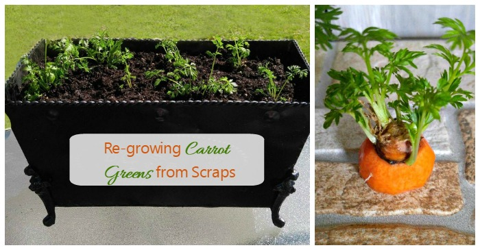 Re Growing Carrot Greens From Scraps For Earth Day The