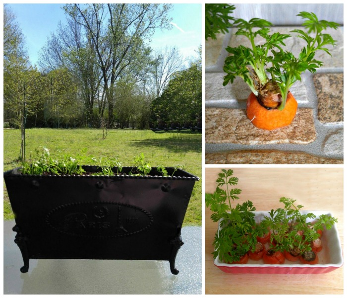 Growing carrot greens is a great Earth Day project