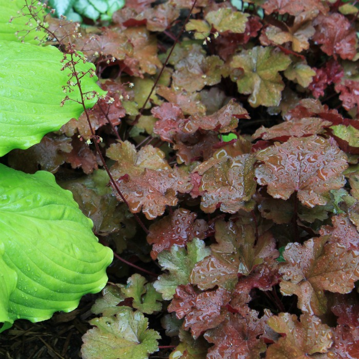 heuchera is a relative of astilbe and likes the same conditions