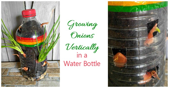 Growing onions in a water bottle