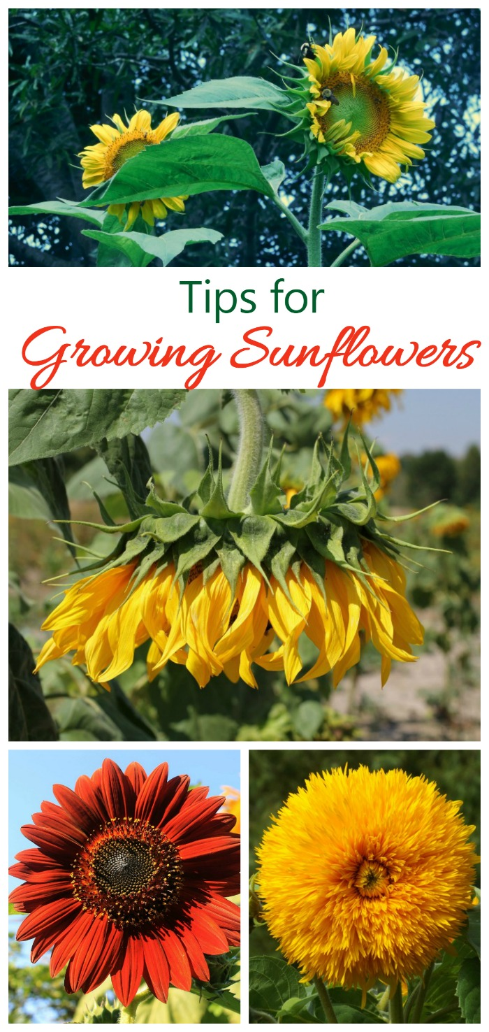 Growing Sunflowers - How to Grow and Care for Sunflower ...