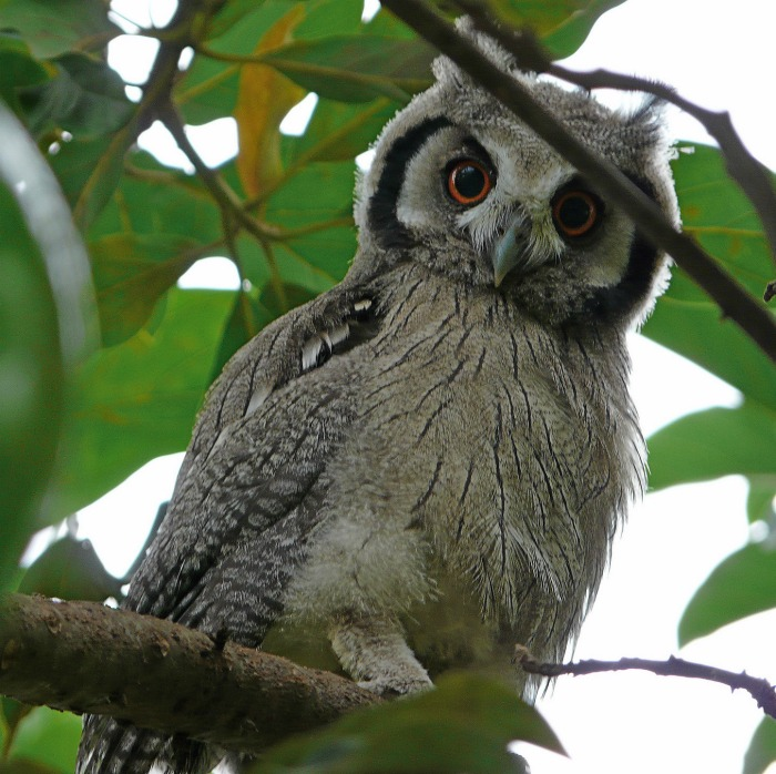 Owls are natural preditors for squirrels