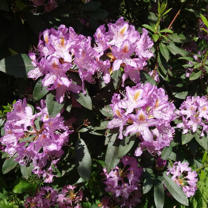 Rhododendrons like shade, and love to be mulched well to retain moisture.