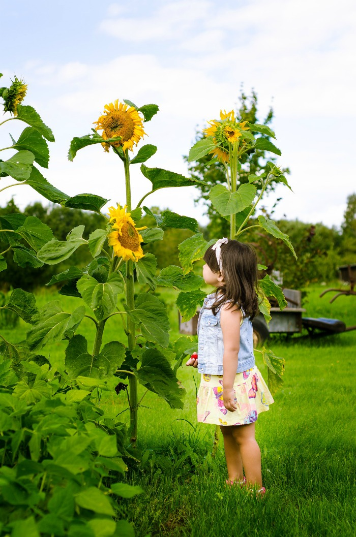 A sunflower plant can dwarf a child