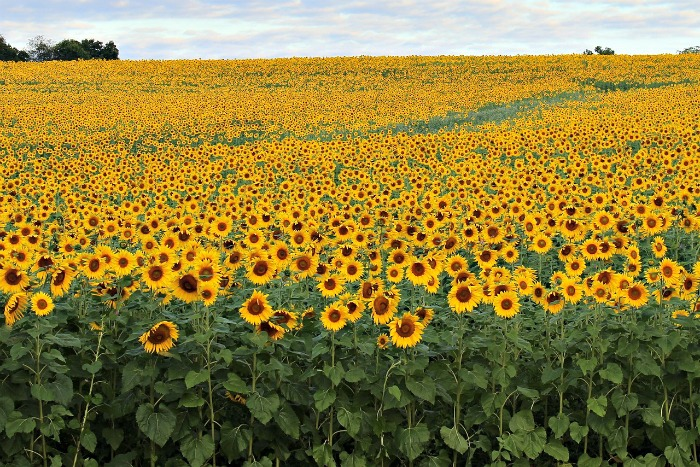 Sunflowers an take over a field
