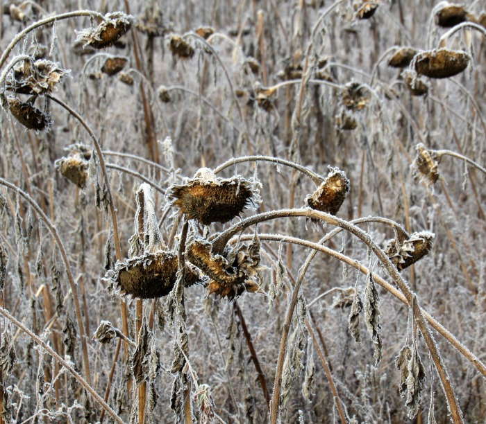 Leave sunflower heads for the birds in winter